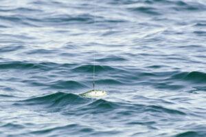Tuna Bait
